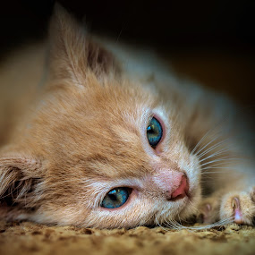lassitude by BO LED - Animals - Cats Kittens ( kitten, cat, closeup, portrait, animal,  )