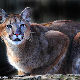 Young mountain lion by Gérard CHATENET - Animals Lions, Tigers & Big Cats