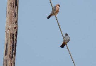 Photo: Falco vespertinus / Red-footed Falcon / Falco cuculo