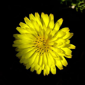 Mellow Yellow  by Debbie Squier-Bernst - Flowers Single Flower (  )