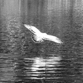 Taking Off 1 Black And White by RMC Rochester - Black & White Animals ( seagull, random, nature, bird, animal, black and white, abstract, water )
