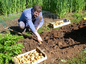 Photo: May; time to harvest potatoes from our organic vegetable garden
