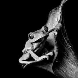 Tree frog by Garry Chisholm - Black & White Animals ( sigma, macro, nature, workshop, tree frog, amphibian, canon, garry chisholm )