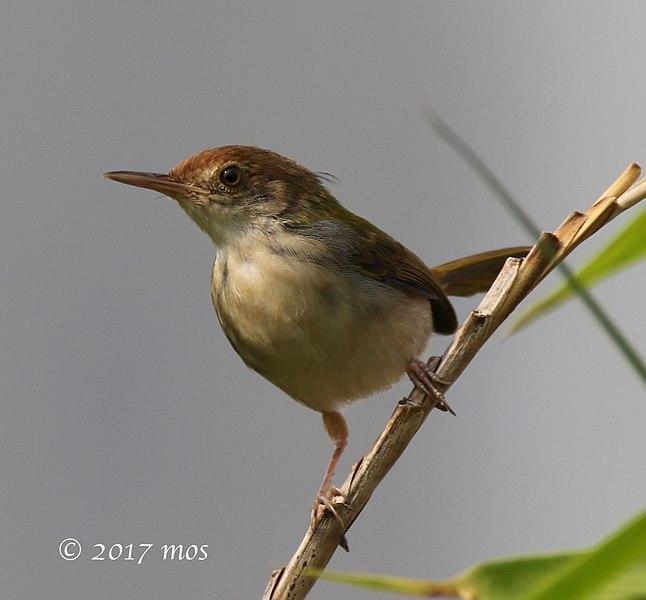 File:Olive-backed Tailorbird (Orthotomus sepium) of South Jakarta, Indonesia.jpg