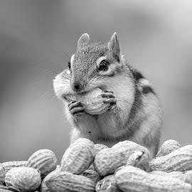 Chipmunk with peanuts by Debbie Quick - Black & White Animals ( debbie quick, nature, adirondacks, peanuts, debs creative images, new york, outdoors, ticonderoga, mammal, chipmunk, animal, wild, wildlife,  )