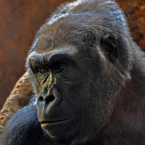 by Jon Hurd - Animals Other Mammals ( zoo, nature, ape, gorilla, wildlife, africa, mammal, portrait, animal,  )