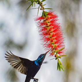 Purple Sunbird by Suman Basak - Animals Birds ( colour, bird, bouquet, flight, nature, nectar, wildlife, flower )
