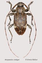 Photo: Atrypanius cretiger, 10,8 mm, Costa Rica, Esquinas Rainforest (08°42´/-83°12´), leg. Erwin Holzer, det. Herbert Schmid