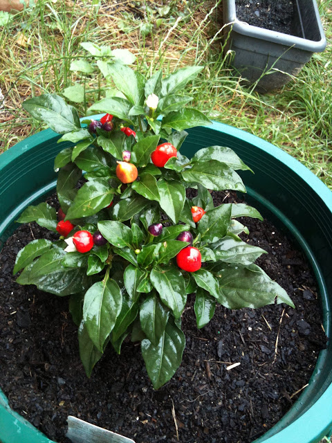 Peppers in a used coffee grounds compost