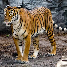 by Carol Bidwell - Animals Lions, Tigers & Big Cats