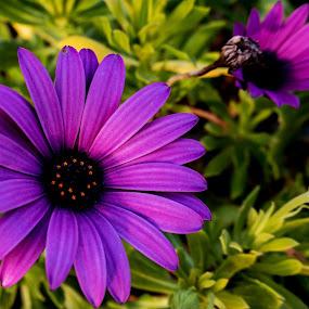 Purple Flower by Ana Paula Filipe - Flowers Flower Gardens ( bottom, purple, garden, close, flower )