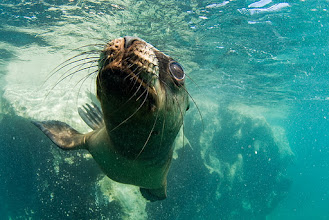 Photo: South American Sea Lion, Valdez, Argentina