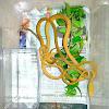 vine snake Hypo morph