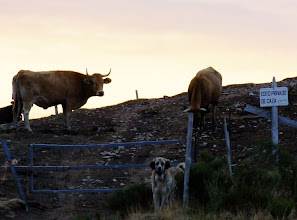 Photo: Mastin guarding cows in the mountains