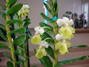 Photo: Dendrobium uniflorum