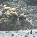 Steller sea-lion