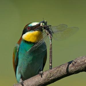 D:\01 GALERIJA FOTO\01 ptice\Čebelar - Rumenogrli čebelar - Merops apiaster\pixoto 2015\Merops-apiaster-384.jpg