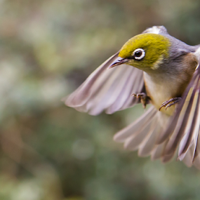waxeye by Trevor Bond - Animals Birds ( bird, nz, in flight, waxeye, bif )