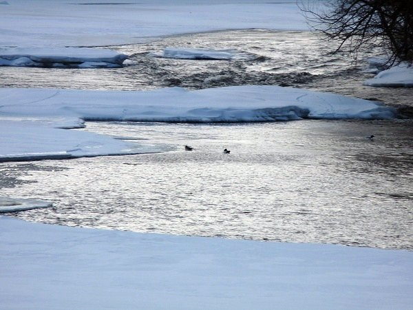 waterfowl on the Grasse River in winter