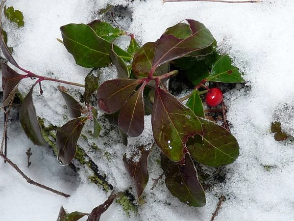 Wintergreen - berry in snow