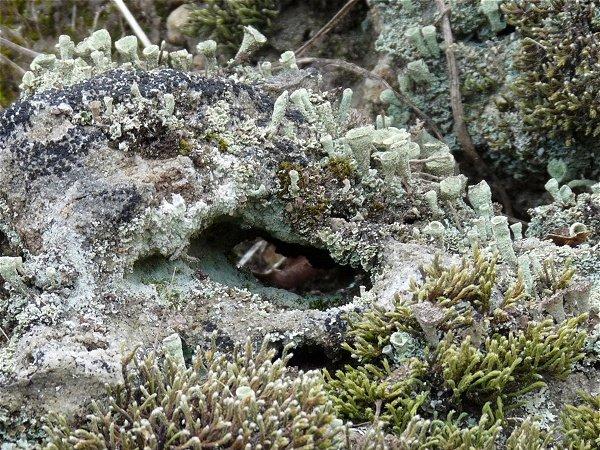 lichen eye