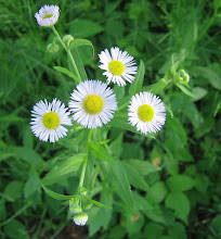 Photo: Daisy Fleabane, 6.19