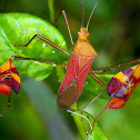 Flag-footed Bug