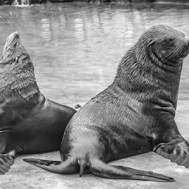 Not talking to you by Garry Chisholm - Black & White Animals ( mammal, sea lion, nature, seal, water, garry chisholm )