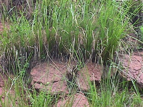Photo: CHN_QU23  China - a quarry in Zhenzen, Guangdong Province under vetiver rehabilitation  - close up