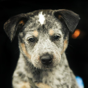 Sparco by Sam Reed - Animals - Dogs Portraits ( blue heeler, cutie, puppy, baby, australian cattle dog, dog )