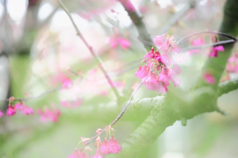 回善寺:紅櫻綠葉