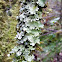 Black Stone Flower lichen