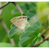 Lampides boeticus 亮灰蝶