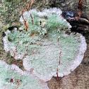 Mapledust Lichen