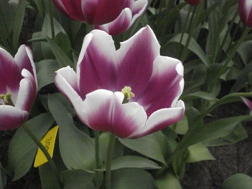 Keukenhof fiori