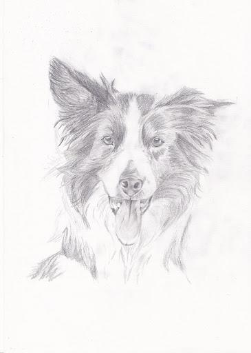 border collie w.i.p. grafiet, voor het eerst een hond - tekenen en