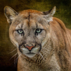 Mountain  lion  by Kathy Val - Animals Other Mammals ( wildlife, mountain  lion,  )