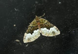 Photo: Euphyia biangulata   Lepidoptera > Geometridae