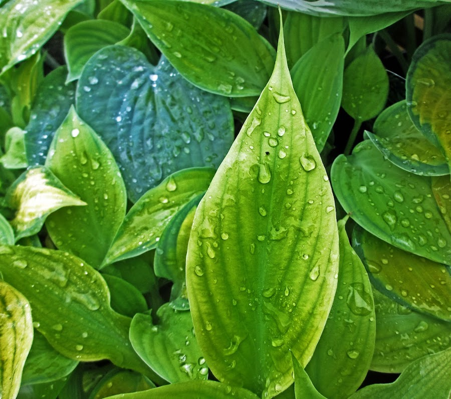 HI leaves 01 by Michael Moore - Nature Up Close Leaves & Grasses (  )