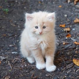 Kitten by Lynn Andrasko - Animals - Cats Kittens