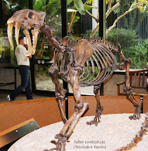 Photo: Smilodon, often called a saber-toothed cat or incorrectly a saber-toothed tiger, is an extinct genus of machairodonts. This saber-toothed cat was endemic to North and South America, living during the Pleistocene epoch (2.5 million to 10,000 years ago).