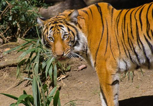san-diego-zoo-tiger.jpg - A Malayan tiger at the San Diego Zoo.