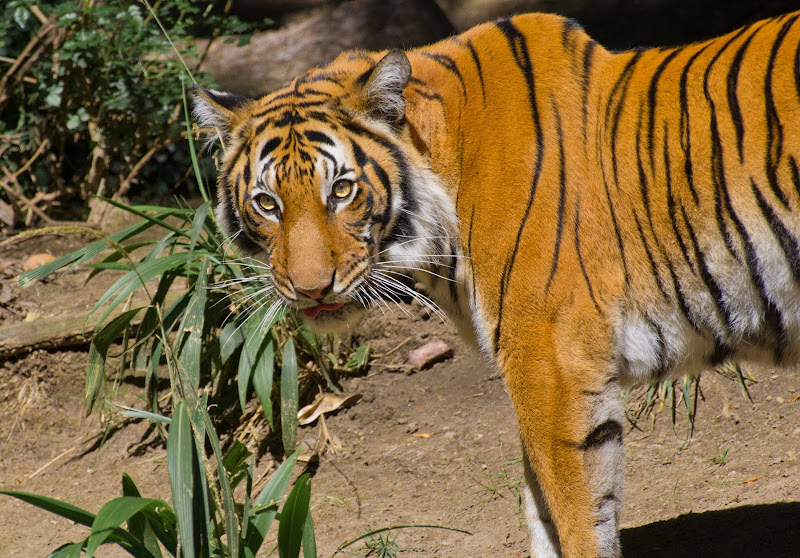 A Malayan tiger at the San Diego Zoo.