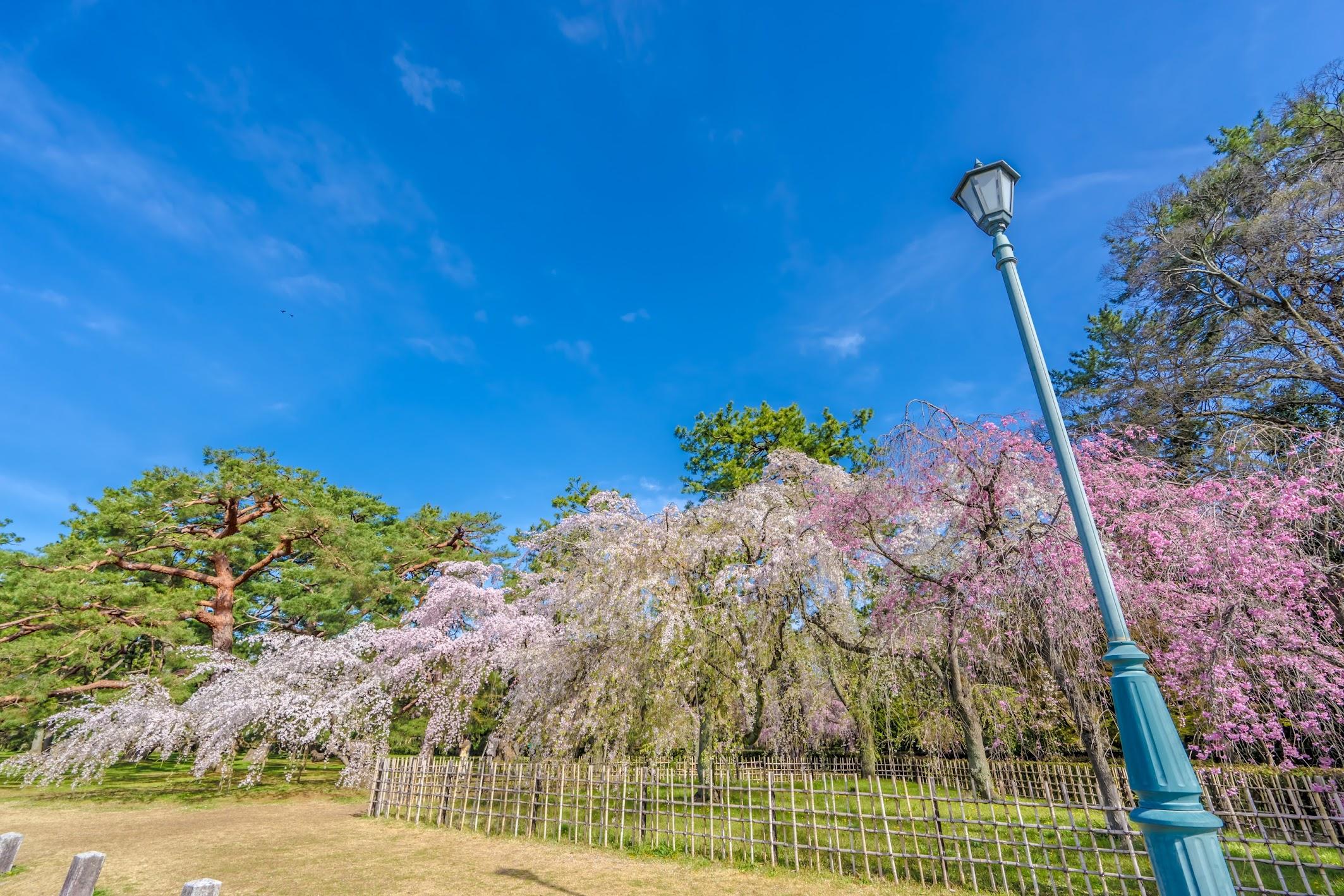 Kyoto gyoen Konoe Mansion site cherry blossoms1
