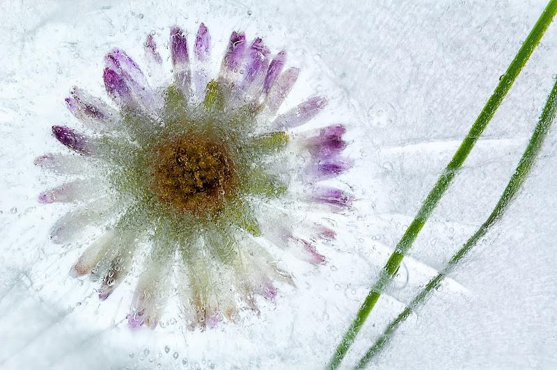 Fiore ghiacciato di renzodid