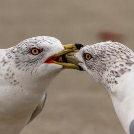 Gulls fighting by Debbie Quick - Animals Birds ( debbie quick, outdoors, nature, animal, wild, debs creative images, new york, hudson valley, gull, poughkeepsie, wildlife,  )