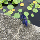 Butterfly dragonfly