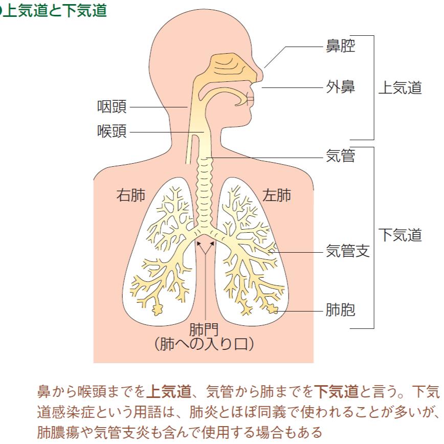 肺から口までの経路を絵にした解剖図