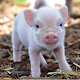 Micro Pig Adorable Videos (app)