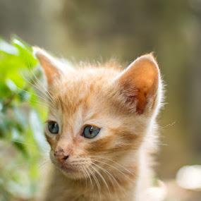 Outside by Ricardo  Guimaraes - Animals - Cats Kittens ( eys, cat, kitten, fluffy, blue, cute, portugal, light, outside )